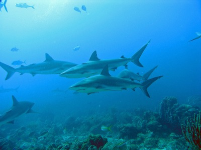 Here are sharks swimming close to Roatan. Roatan is famous for its shark watching opportunities.