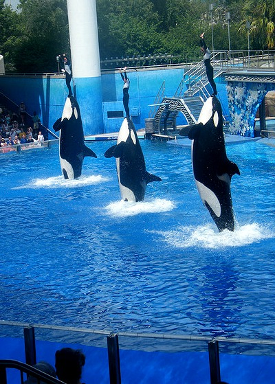 Dolphins holding up their trainers at Shamu Stadium.