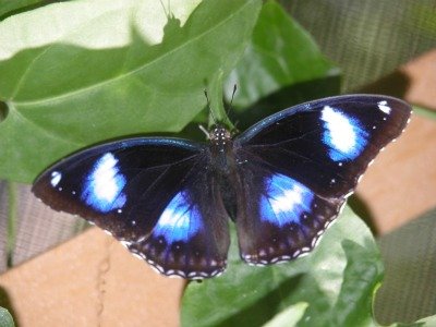 One of the butterflies in Butterfly Farm.